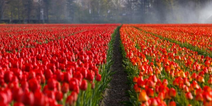tulips-21690_1920.jpg